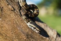 African Rock Python hatchling, Phinda Private Game Reserve, Zululand, KwaZulu Natal, South Africa