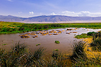 A bloat (herd) of hippos in a pond in the Ngorongoro Crater, Ngorongoro Conservation Area, Tanzania