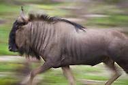 A wildebeest on the run in the Okavanga Delta region of Botswana.