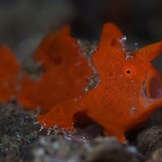 Juvenile orange-red painted frogfish (Antennarius pictus) with open mouth. Lembeh Strait, North Sulawesi, Indonesia