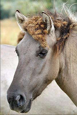 Nederland, Nijmegen, 21-2-2014 Konikpaarden grazen in de Ooijpolder, Millingerwaard. De Konik leeft in kuddeverband. De wilde paarden zijn uitgezet in natuurgebieden door heel Nederland en doen het goed. Soms worden ze uitgezet in Oost-europa. Doordat ze langs distels grazen komen veel klitten in hun manen. Deze verdwijnen weer vanzelf. Foto: Flip Franssen/Hollandse Hoogte