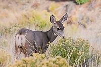 Mule deer doe (Odocoileus hemionus) Great Sandunes Natioal Park.  Colorado, USA
