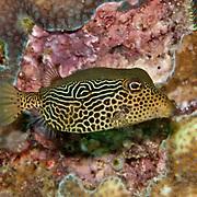 Solor Boxfish inhabit seaward reefs. Picture taken Lembeh Straits, Sulawesi, Indoneisa