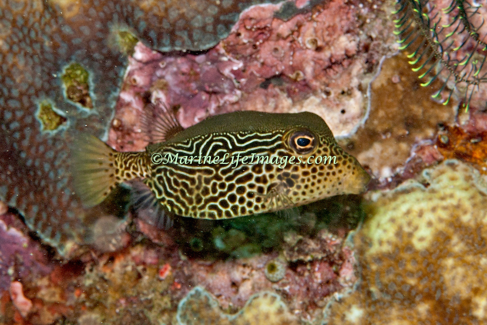 Solor Boxfish inhabit seaward reefs. Picture taken Lembeh Straits, Sulawesi, Indoneisa