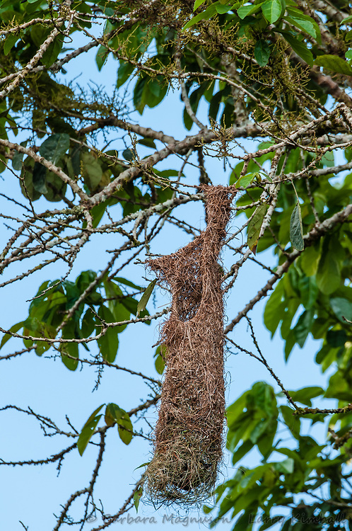 Russet-Backed Oropendola [Psarocolius angutifrons] at nest, Napo Wildlife Center,  Ecuador