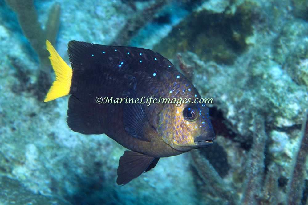Yellowtail Damselfish inhabit shallow reef tops in Tropical West Atlantic; picture taken Grand Cayman.