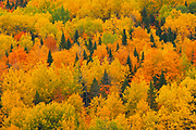 Acadian forest in autumn foliage. <br />Aroostook<br />New Brunswick<br />Canada