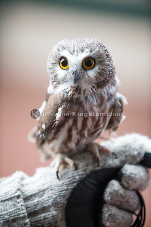 A Northern Saw-whet Owl (Aegolius acadicus) perched on a gloved hand.