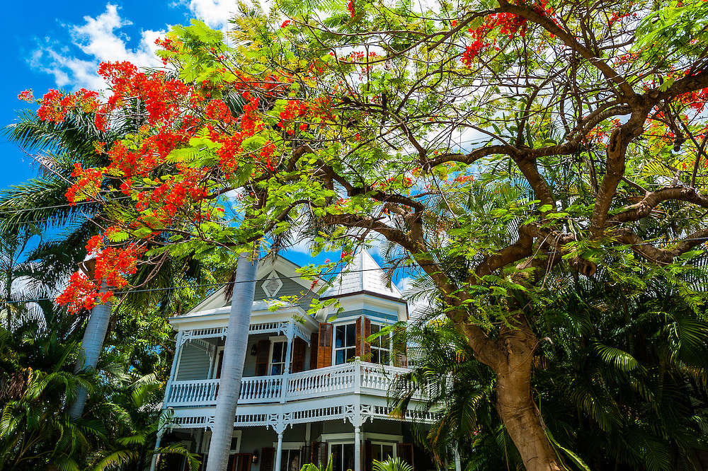 Royal poinciana tree (flame tree) and house, Key West, Florida Keys, Florida USA