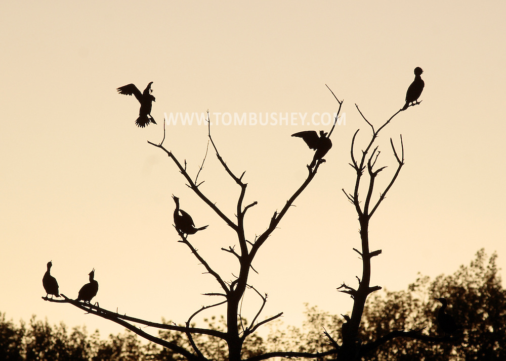 Middletown, New York - A double-crested cormorant, at left, joins others perching in a tree at Fancher-Davidge Park on April 29, 2010.