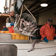 "Off loading catch from the trawler ""Harmony"" in Gloucester, MA. Captain David Haggerty and crew brought in 60,000 lbs of ground fish -- pollack, haddock, and cod."