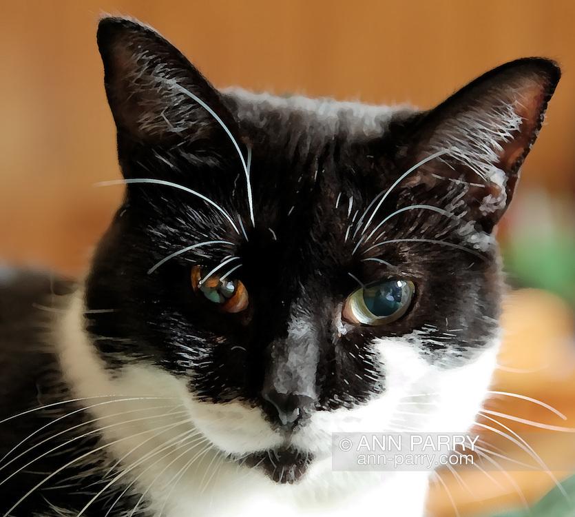 Black and White American Shorthair cat, Hillary, 1 1/2 years old, indoors. One brown eye, one green eye