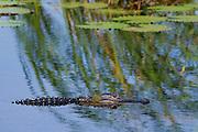 An American Alligator (Alligator mississippiensis) in fresh water habitat. Savannah National Wildlife Refuge Hardeeville, SC