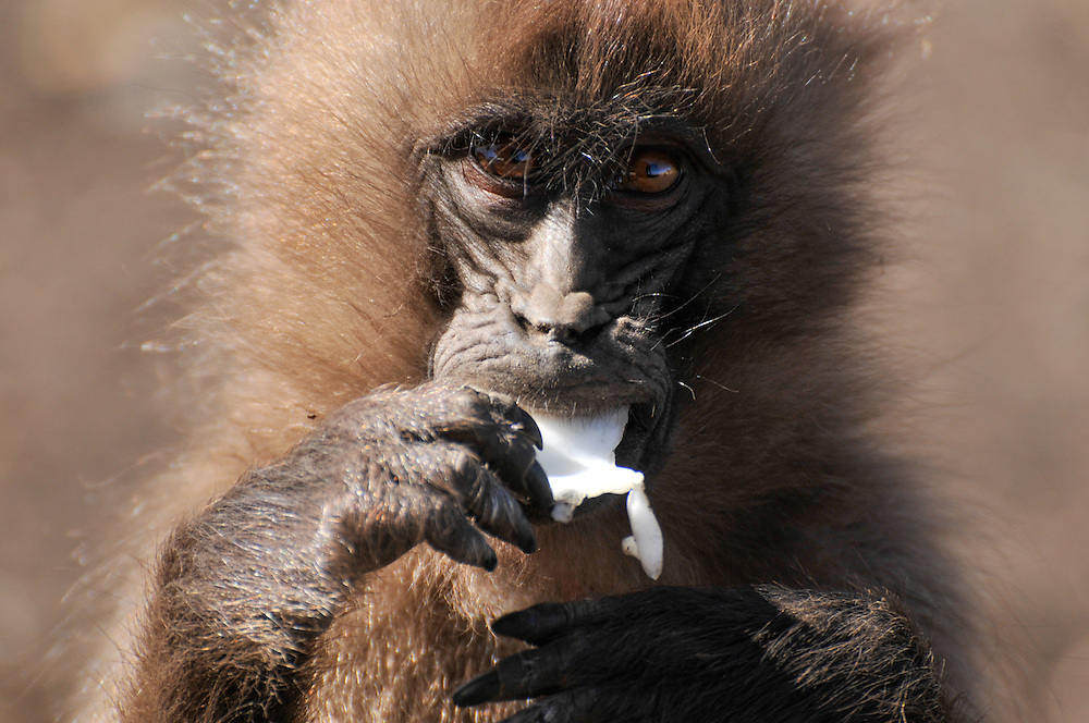 Close-up of a young Gelada baboon eating, Simien mountains, Ethiopia.