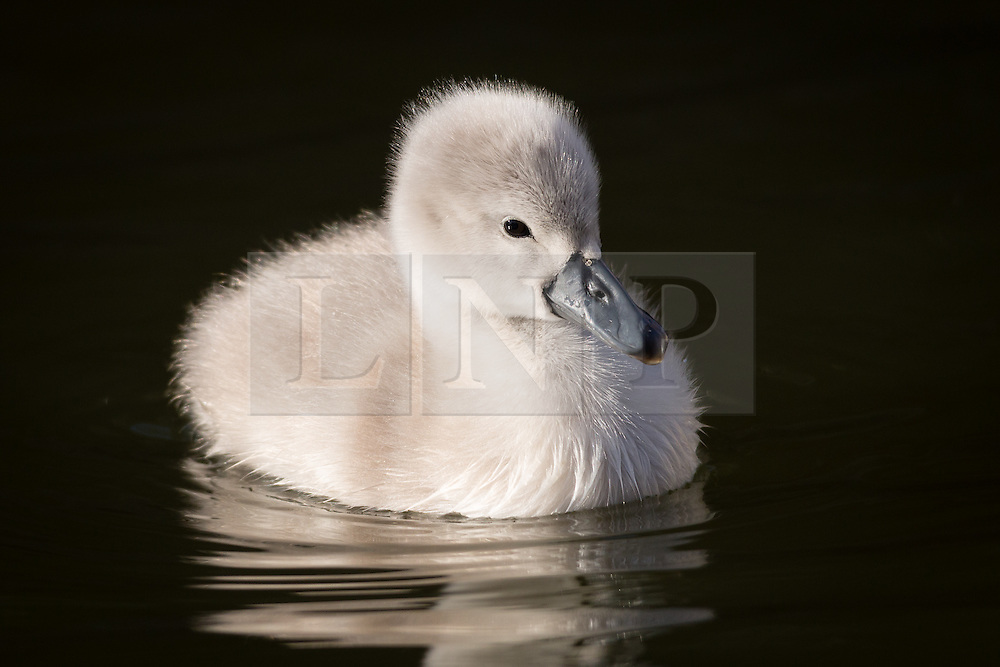 © Licensed to London News Pictures. 10/04/2016. London, UK. A swan cygnet swims in an urban canal in Wapping, east London during sunny spring weather this morning. The swan cygnet is one of the first to hatch in London this year.  Photo credit : Vickie Flores/LNP