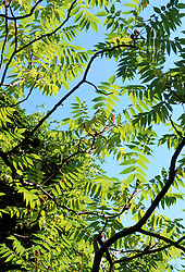 The summer foliage of Rhus typhina - Stag's horn sumach - against a blue sky