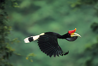 Rhinoceros Hornbill (Buceros rhinoceros) male in flight.