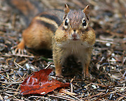 Image of a chipmunk