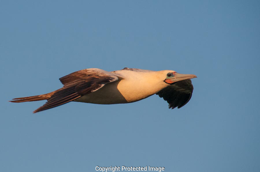 The Red-footed Booby glowed in the afternoon light as it flew by.