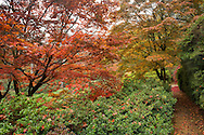 Colourful autumn foliage on acer trees in the Valley Gardens, Surrey, UK