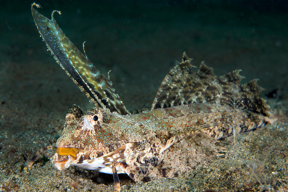 Fingered Dragonet &quot;walks&quot; on the sandy bottom<br /> <br /> Shot in Indonesia
