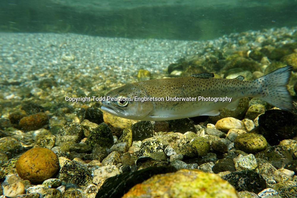 Steelhead Smolt<br /> <br /> Todd Pearsons/Engbretson Underwater Photography