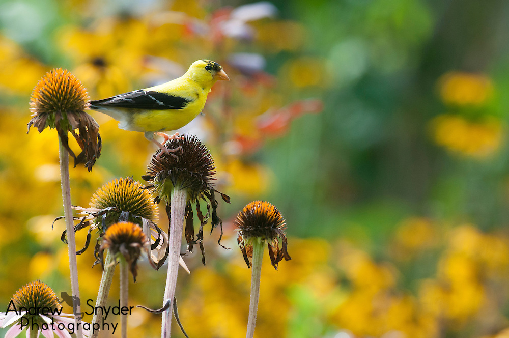 A male American goldfinch (Spinus tristis) on a coneflower - Owings Mills, Maryland.