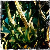 25 February 2012: Wine vine detail, Napa, California.  iPhone Stock Photo