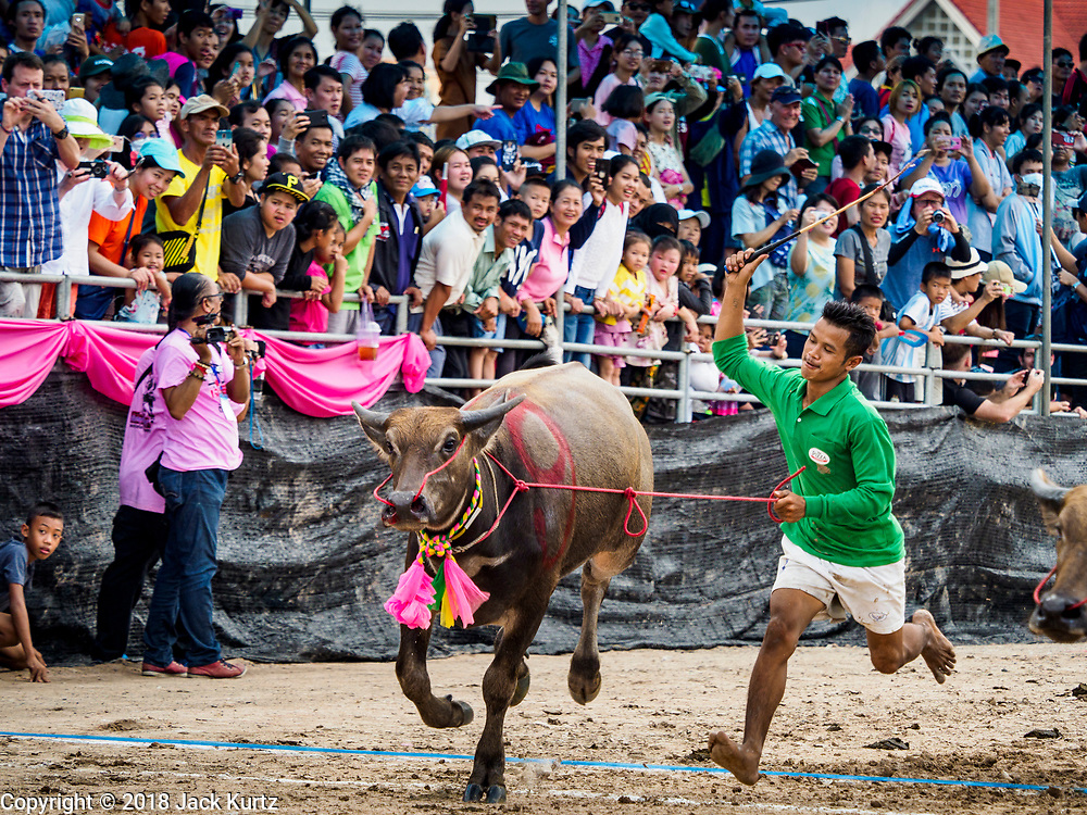 23 OCTOBER 2018 - CHONBURI, CHONBURI, THAILAND:  A jockey whips his water buffalo after dismounting in the buffalo races in Chonburi. Contestants race water buffalo about 100 meters down a muddy straight away. The buffalo races in Chonburi first took place in 1912 for Thai King Rama VI. Now the races have evolved into a festival that marks the end of Buddhist Lent and is held on the first full moon of the 11th lunar month (either October or November). Thousands of people come to Chonburi, about 90 minutes from Bangkok, for the races and carnival midway.    PHOTO BY JACK KURTZ