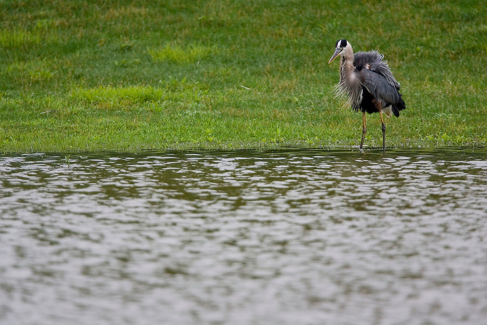 Great Blue Heron feeding in a pond