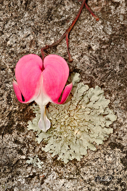 A bleeding heart (Dicentra spectabilis) blooms against foliose lichen (Xanthoparmelia sp.) growing on granite.
