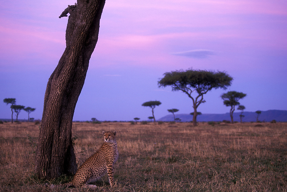 Africa, Kenya, Masai Mara Game Reserve, Adult female Cheetah (Acinonyx jubatas) at base of acacia tree on savanna at dawn