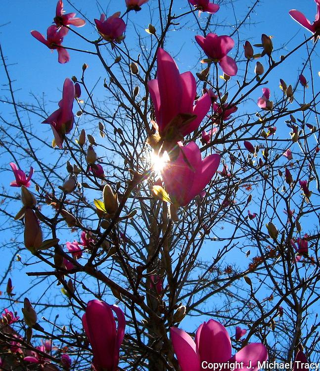 Early Spring Sun shining through a Tulip Tree in Georgia.