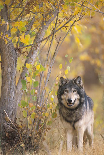 Gray Wolf, (Canis lupus) Adult. Fall. Rocky mountains. Montana. * Captive Animal. .Gray Wolf, (Canis lupus) Adult. Fall. Rocky mountains. Montana. *Captive*