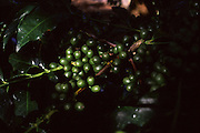 Carmo da Cachueira_MG, Brasil...Detalhe do galho de cafe de uma plantacao...Detail of coffee beans on a plant at a farm...Foto: LEO DRUMOND / NITRO