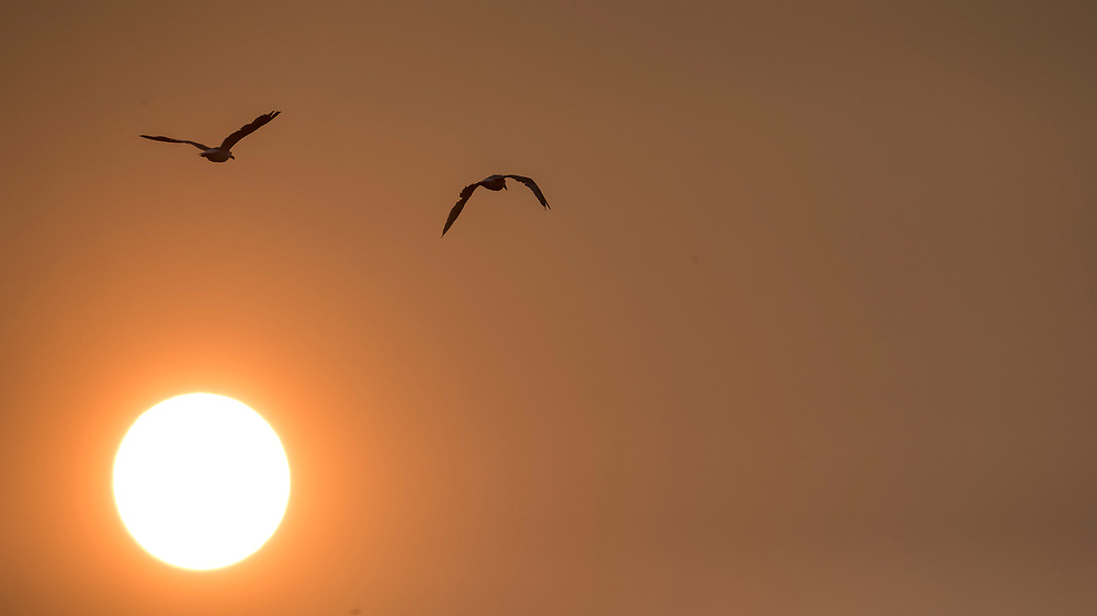 Two gulls fly past the setting sun at Holland Point Park below the Dallas Road Waterfront Trail in Victoria, British Columbia Canada on August 3, 2017. <br /> <br /> Smoke from wildfires in British Columbia&rsquo;s interior has drifted over Victoria and the lower mainland pushing air quality to a high risk level.