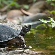 Oldham's Leaf Turtle (Cyclemys oldhamii) in Kaeng Krachan national park, Thailand