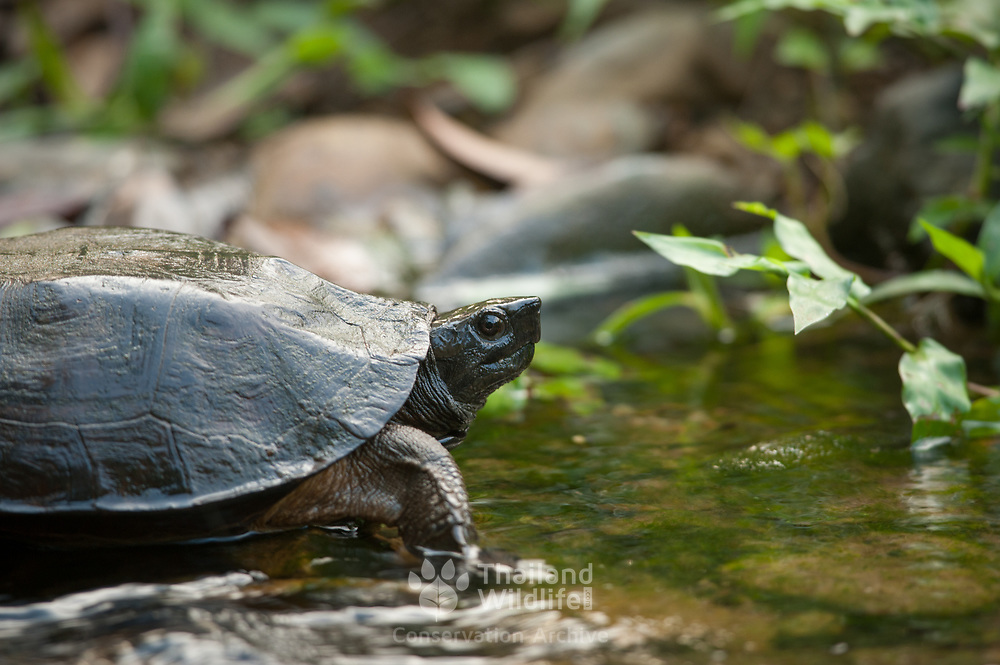 Oldham's Leaf Turtle (Cyclemys oldhamii) in Kaeng Krachan national park, Thailand