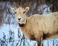Bighorn Sheep Study - January 2015