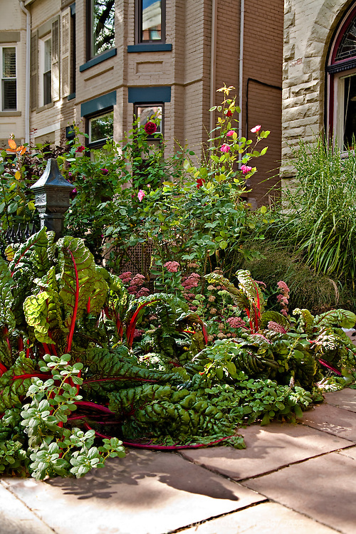 An edible landscape including roses,  red stemmed chard, Autumn Joy sedum, potato plants, and  ornamental grasses, all in the front yard of an urban property in downtown Toronto.