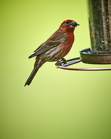 Male House Finch. Image taken with a Nikon D5 camera and 600 mm f/4 VR lens.