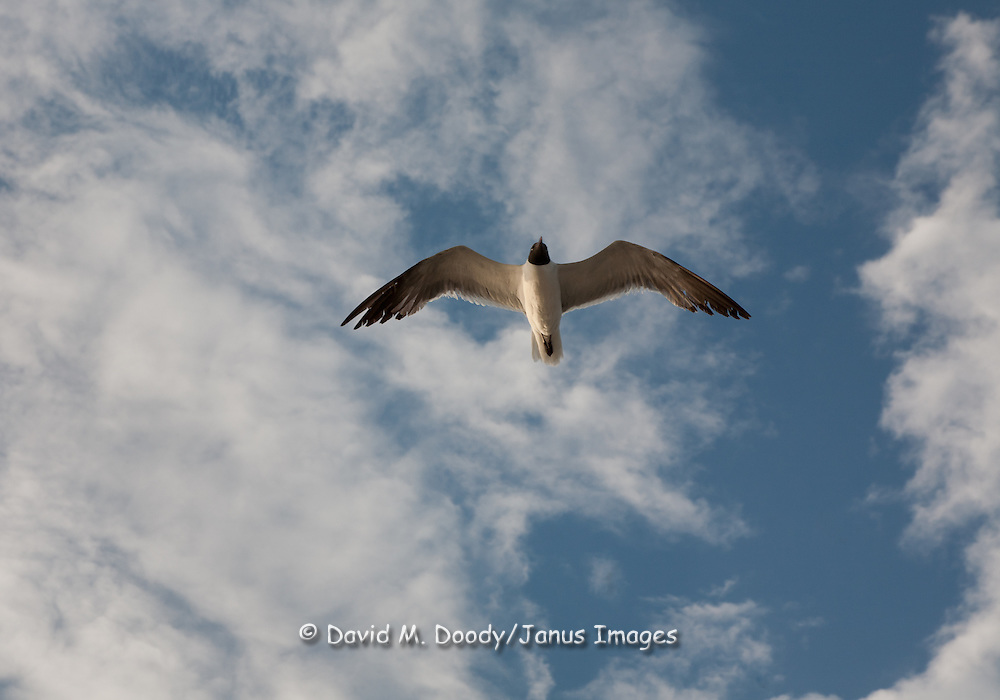 Gull flying over the James River against a nice sky