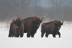 Groepje Wisenten in de sneeuw; Group European Bison in snow