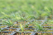 Oyamel fir tree sprouts at a reforestation project outside the Sierra Chincua Biosphere Reserve January 20, 2020 in Angangueo, Michoacan, Mexico. Millions of migrating monarch butterflies rely on the massive fir trees for overwintering which have been cut by illegal logging in the Central Mexican mountains.