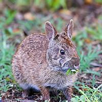 Marsh Rabbit eating vegetation in Ding Darling Wildlife Refuge, Florida