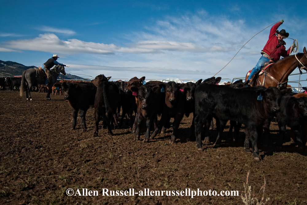 Cowboys rope and drag calves to the fire to be branded, Wilsall, Montana,<br /> MODEL RELEASED, PROPERTY RELEASED