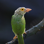 The lineated barbet (Psilopogon lineatus) is a large barbet found in Thailand. Like other barbets it is a frugivore. In nests inside holes bored into tree trunks.