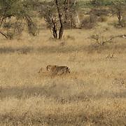 Cheetah, a young cheetah pounces on a baby grants gazelle. Samburu National Reserve, Kenya