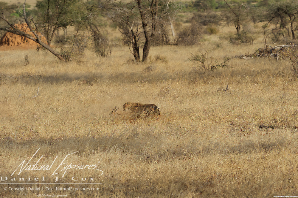 Cheetah, a young cheetah pounces on a baby grants gazelle. Samburu National Reserve, Kenya