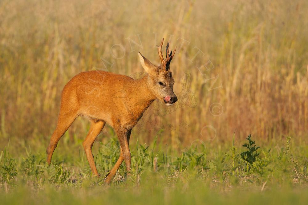 Western Roe Deer (Capreolus capreolus) adult male walking across set-aside field, Norfolk, UK.